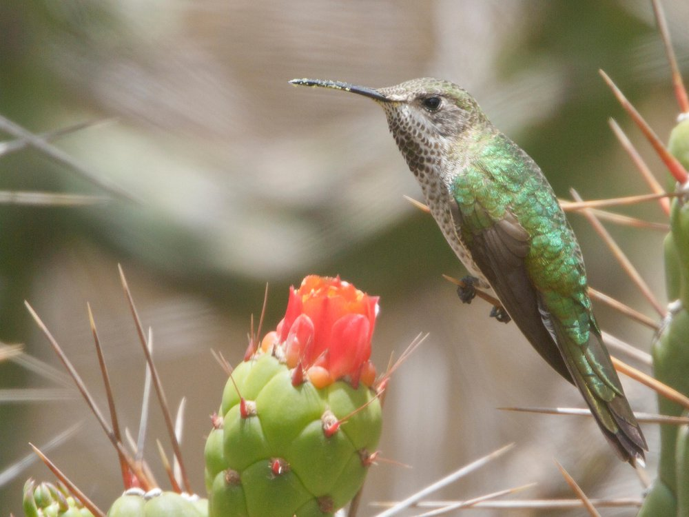 Bronze-tailed Comet (Polyonymus caroli) perched on a cactus in Peru.
