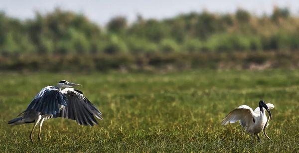 Grey Heron Chasing Ibis for Kill thumbnail