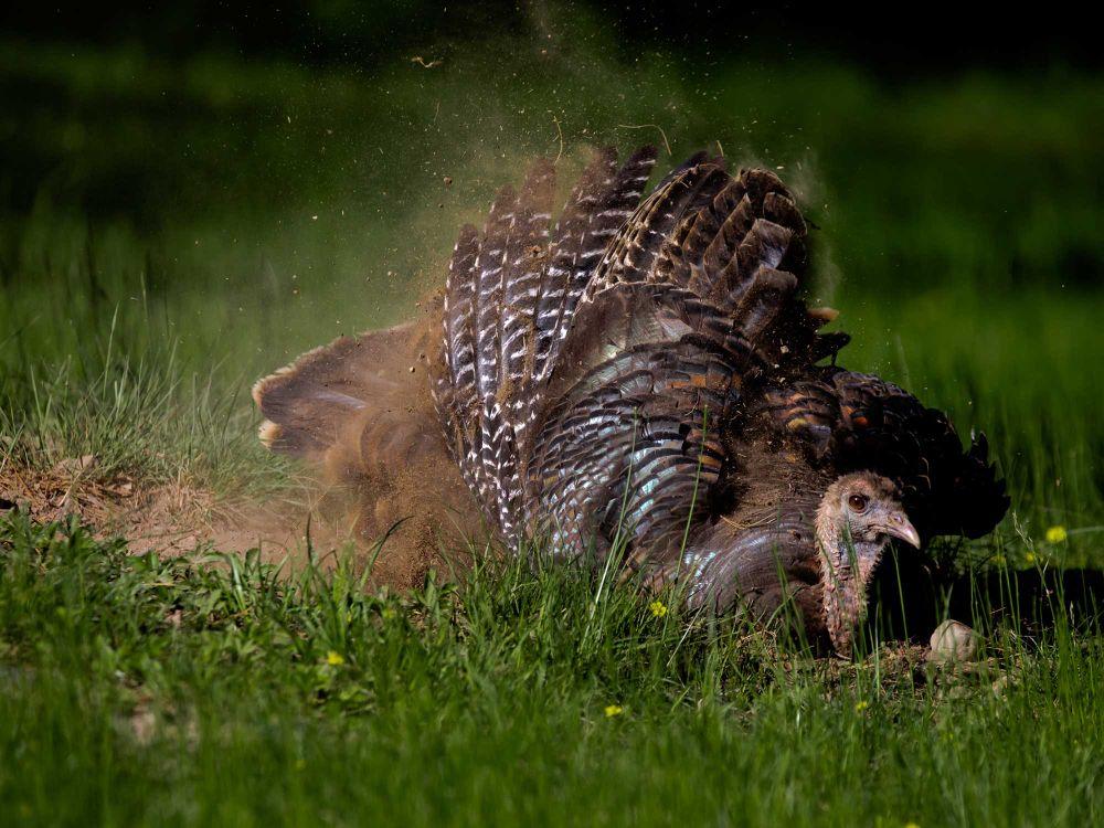 Turkey Dust Bathing