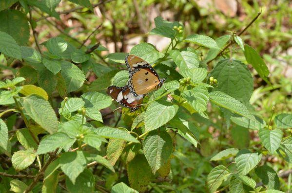Butterflies in the bush near Jawhar Fort thumbnail