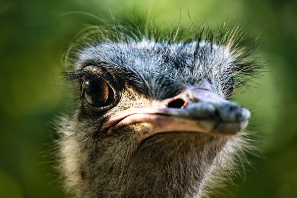 Ostrich is attitude thumbnail