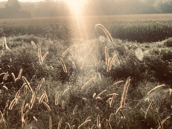Spider webs in a field thumbnail