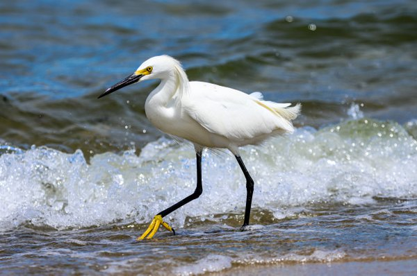 Snowy Egret Fishing on Cape Cod thumbnail