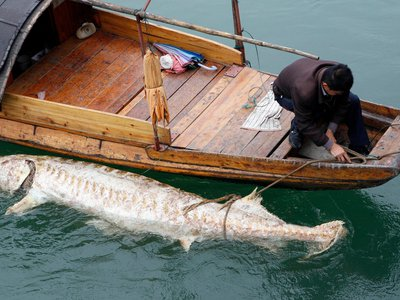 A dead Chinese sturgeon found in the Yangtze in 2007