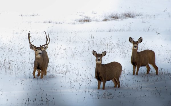 Bucksndoes in the snow thumbnail