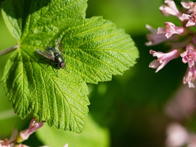 A green bluebottle fly, part of the Calliphoridae family of carrion flies.