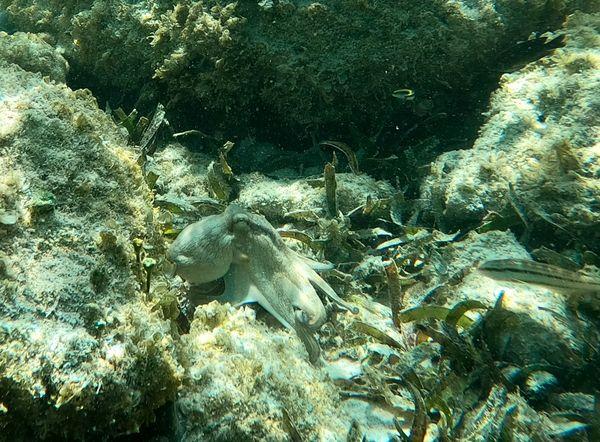 Octopus in Aruba 3 thumbnail