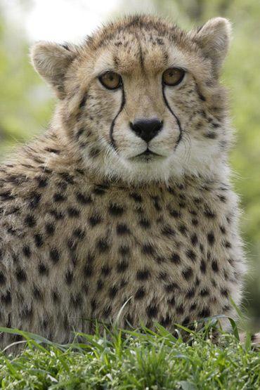 cheetah_sept28.jpg
