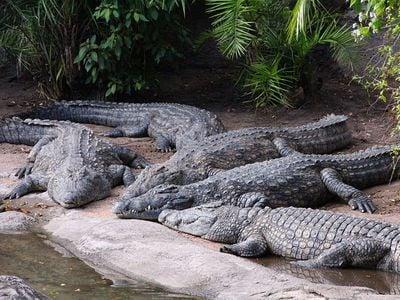 Crocodiles sun themselves at Disney's Animal Kingdom in Buena Vista, Florida in 2012.