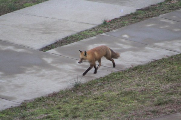 Fox at School thumbnail