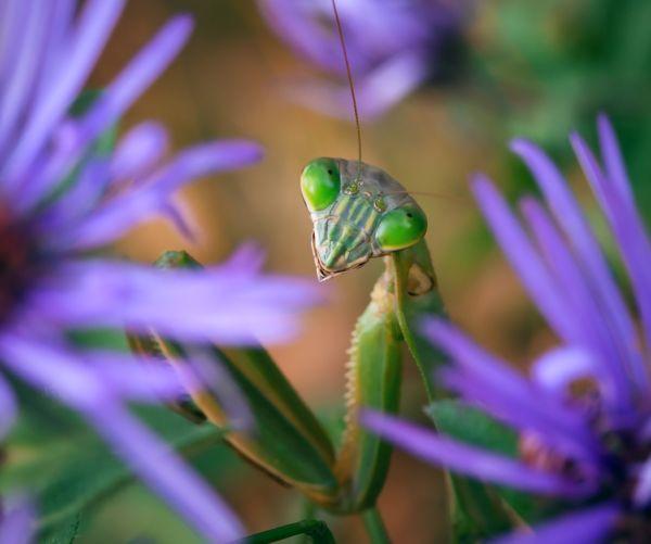 Beauty Shot of a Praying Mantis Among Purple Flowers thumbnail