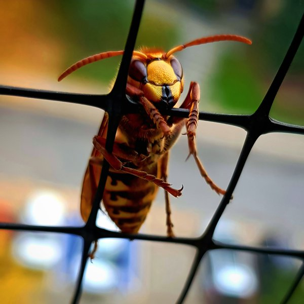 Hornet holding a net on my balcony thumbnail
