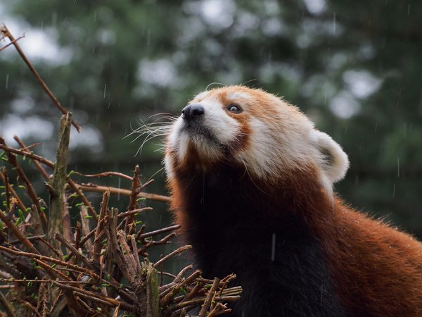 Red Panda in the Rain thumbnail