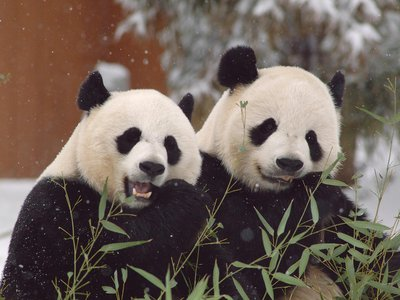 Giant pandas put it all out there when calling out for love.
