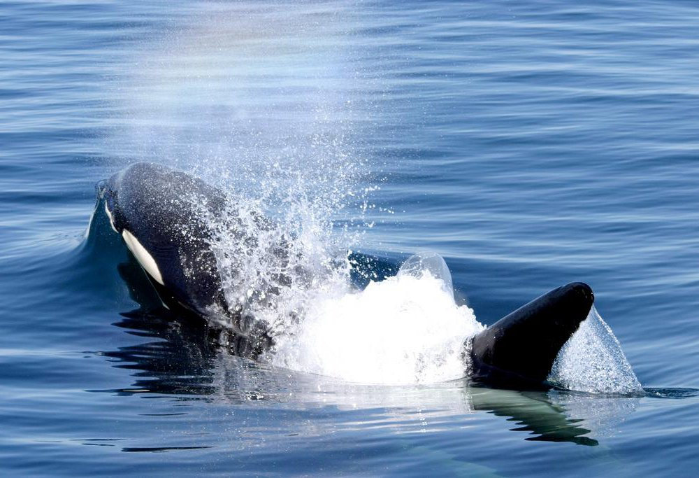 Orca Blowing