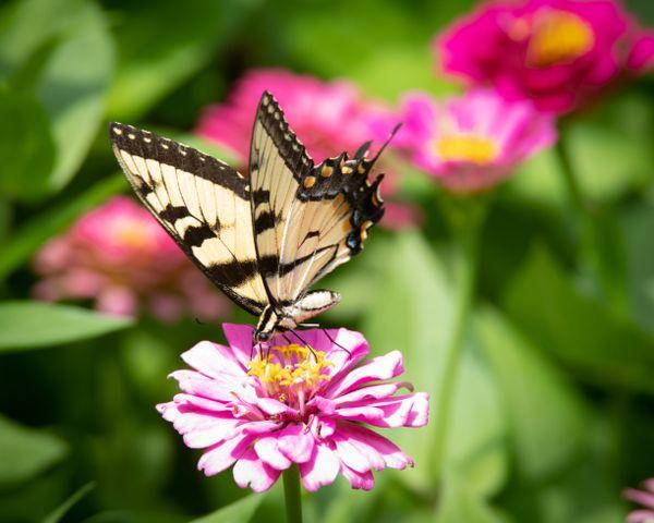 Swallowtail Butterfly on Zinnia thumbnail