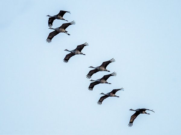 Sand hill cranes migrating through Alda, Nebraska thumbnail
