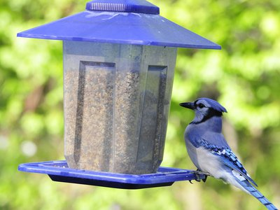 A blue jay photographed at a bird feeder. Fledgling blue jays and grackles in D.C., Virginia, Maryland and West Virginia have been dying of a mysterious ailment since late May.