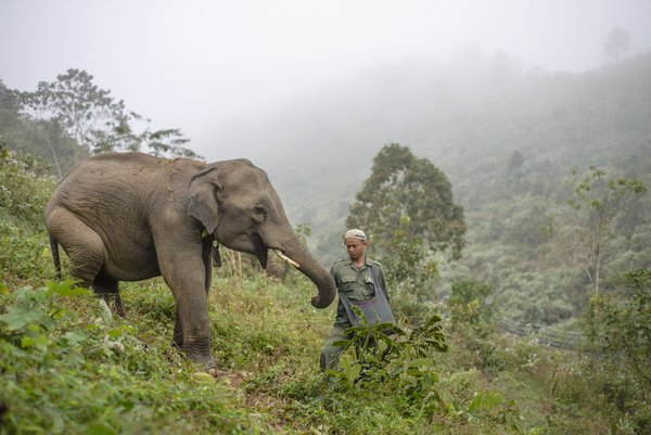 Elephant conservation in Laos thumbnail
