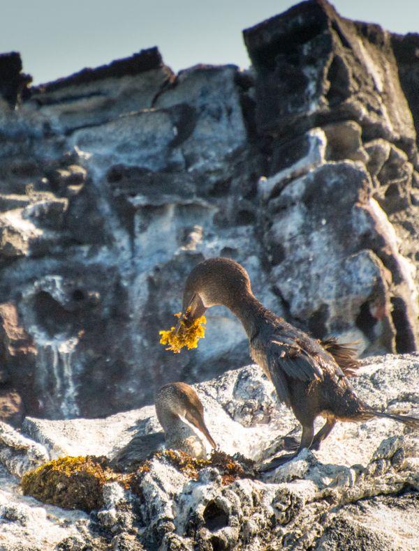 Flightless cormorants, nest building, Galapagos 2019 thumbnail