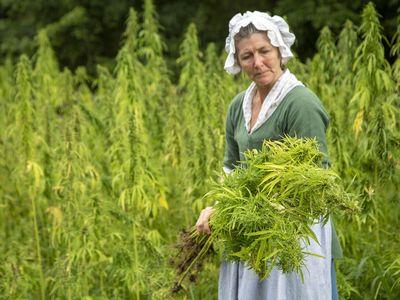 Hemp harvest at Mount Vernon