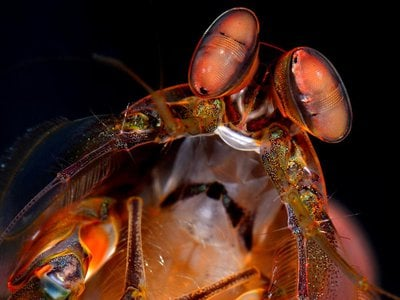 There are more than 400 species of mantis shrimp, including some with claws that can strike with the speed of a bullet and crack glass. But it's the animal's vision, sensitive to polarized light, that is helping scientists build a compact camera that can see cancer.