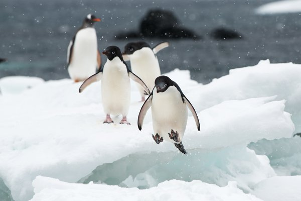 Adelie Penguin hopping across icebergs  thumbnail