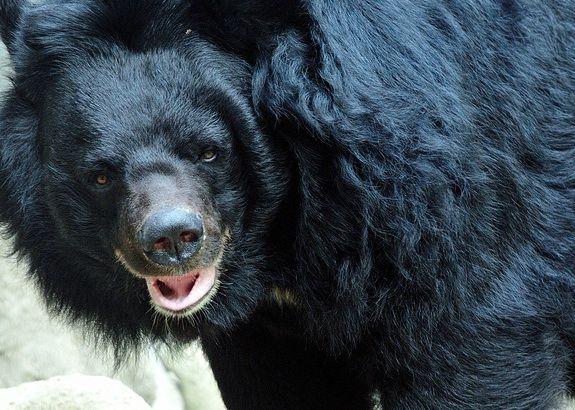 An Asiatic black bear, also known as a moon bear