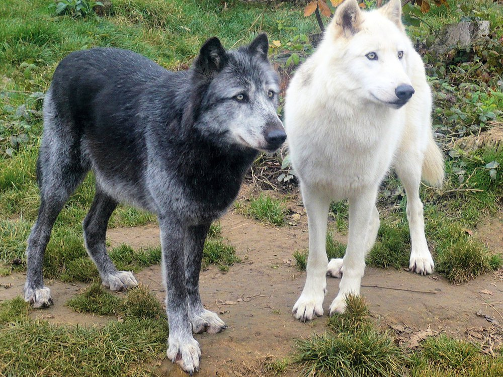 Black and white-furred gray wolves