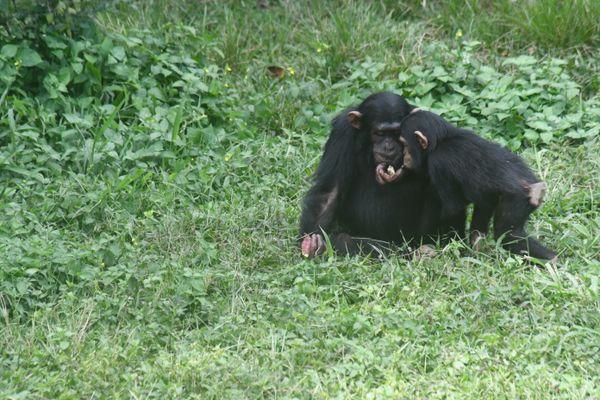Two chimpanzee friends thumbnail