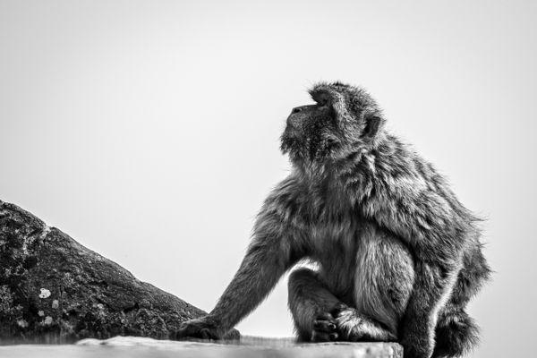 Onlooking Macaque thumbnail