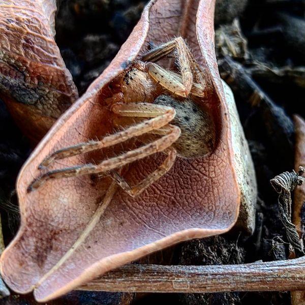 Olios hidden in leaf thumbnail