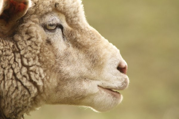 The Profile of a Sheep thumbnail