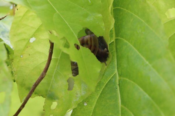 A snail enjoying a leaf thumbnail
