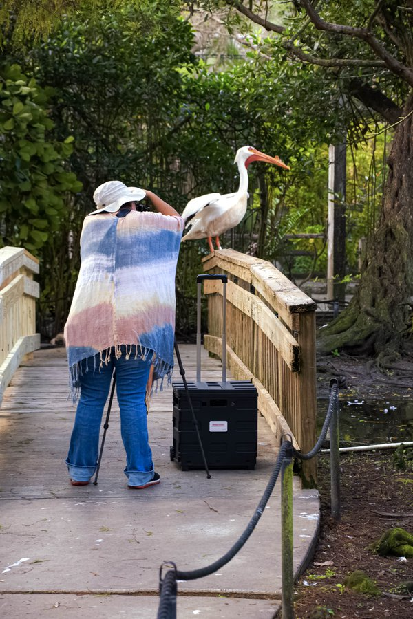 A Photographer and a Pelican thumbnail