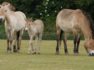 Conservationists report that the Przewalski's horse is extinct in the wild, and only an estimated 2,000 remain in zoos and reserves.