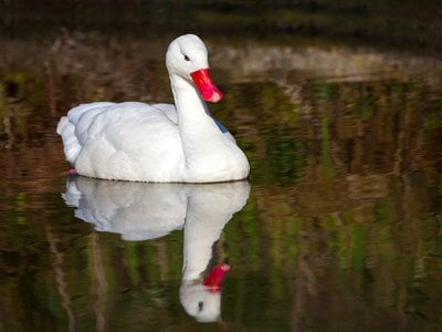 The tough little egg made it all the way through the digestive system of a coscoroba swan like this one.