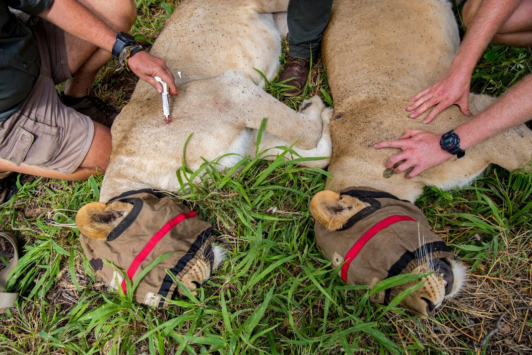 Lions Are Coming Back to Southern Malawi, Where They Haven't Been Seen for Decades