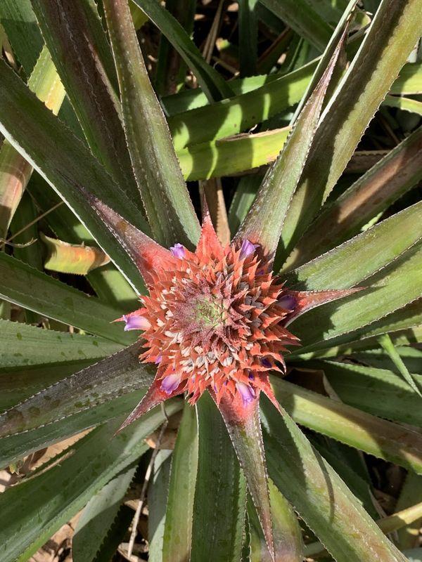 A Pineapple's Beginning thumbnail