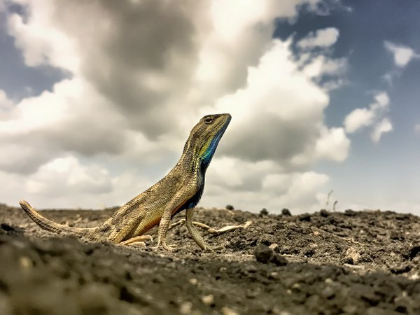 Fan throated Lizard thumbnail