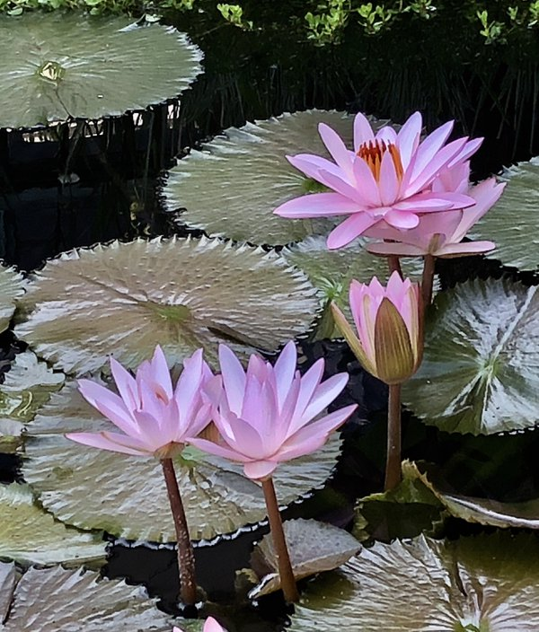 Water lilies  thumbnail