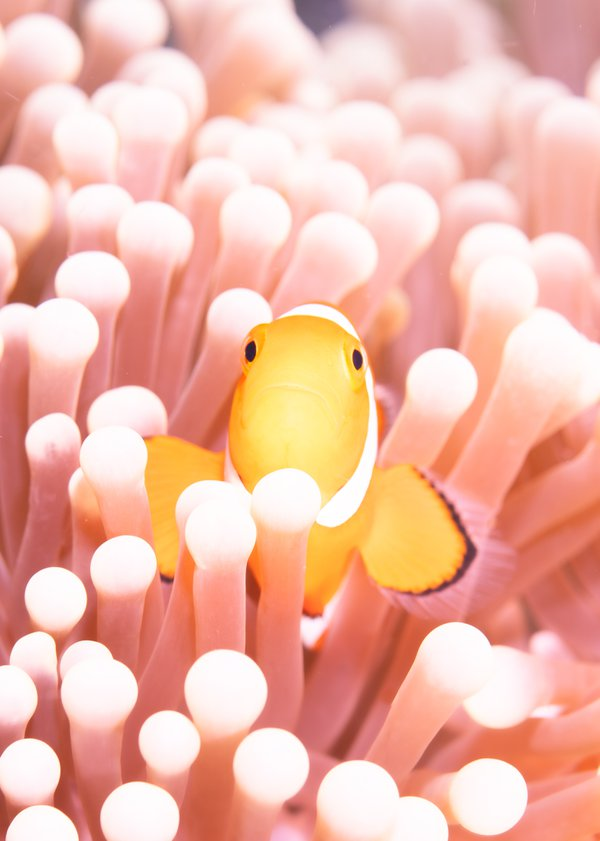 "Anemone clown fish ""Pretty in Pink"" thumbnail"