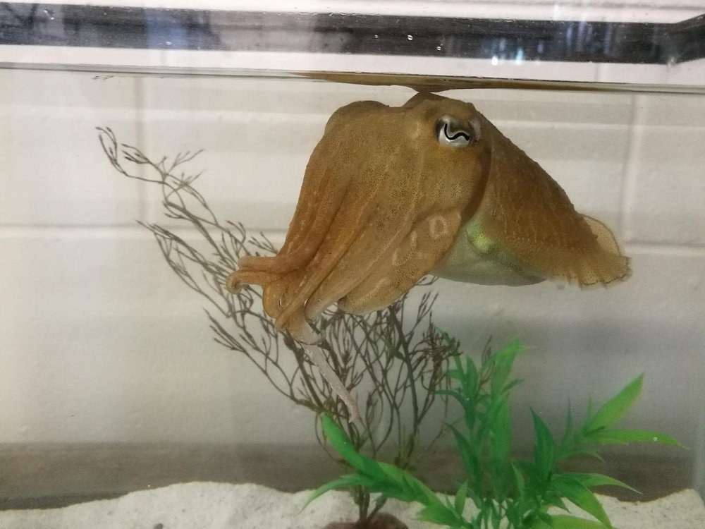 A light brown cuttlefish in a fish tank