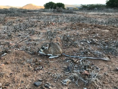 A San Quintin kangaroo rat at rest in the field.