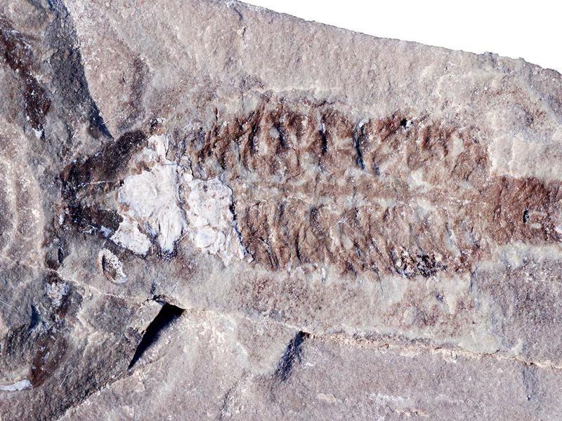Parioscorpio holotype 1