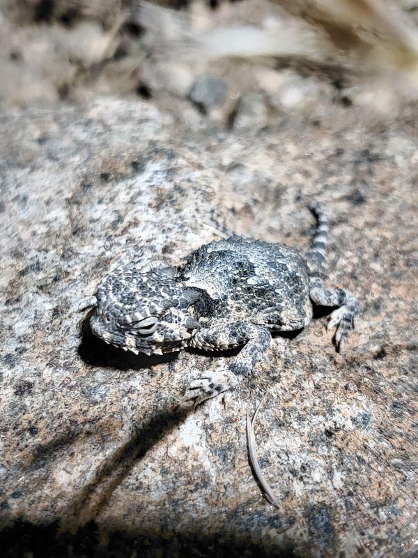 A baby Regal Horned Lizard caught warming itself after dark thumbnail
