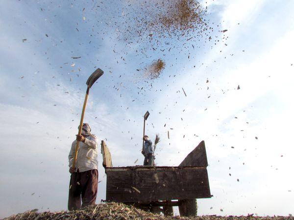 Broad bean harvesting thumbnail