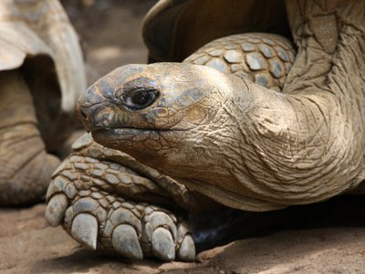 The giant tortoise clumsily stalked and ate a lesser noddy tern chick, raising questions about their herbivorous diet.