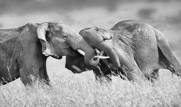 Wrestling Elephants thumbnail