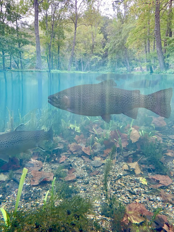 A trout seen underwater thumbnail